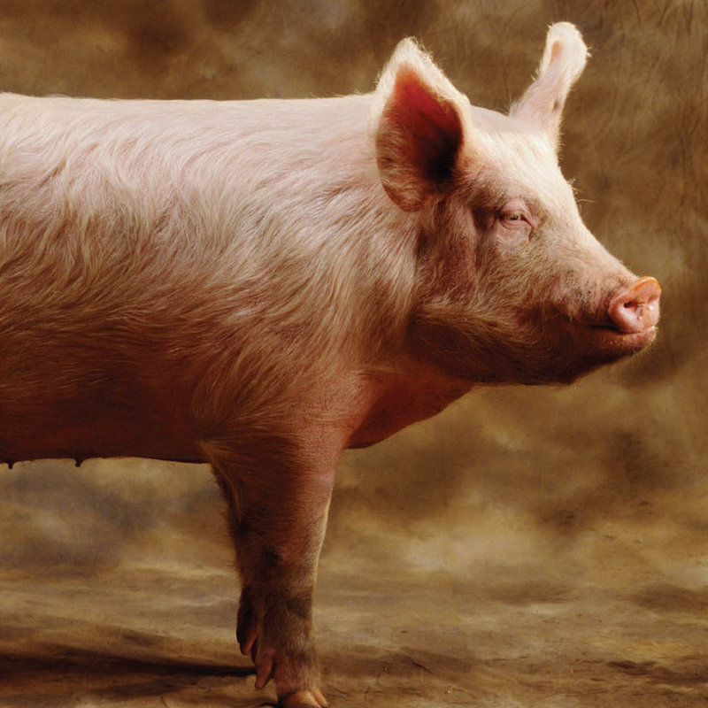 Why I Don't Dine on Swine
